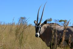 Gemsbok eller gemsbuck (oryxantilopgazellaen) Royaltyfria Bilder