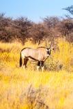 Gemsbok- eller gemsbuckantilop, oryxantilopgasell som står i savannet av den Kalahari öknen, Namibia, Afrika Fotografering för Bildbyråer