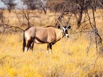 Gemsbok- eller gemsbuckantilop, oryxantilopgasell som står i savannet av den Kalahari öknen, Namibia, Afrika Royaltyfria Bilder
