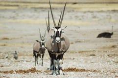 Gemsbok em Etosha #3 Fotos de Stock