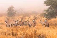 Gemsbok en brouillard Images libres de droits