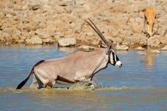 Gemsbok en el agua, Etosha Imagen de archivo libre de regalías