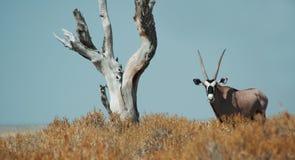 Gemsbok en Etosha Fotografía de archivo libre de regalías
