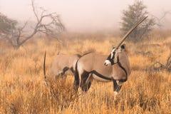 Gemsbok en niebla Imagenes de archivo