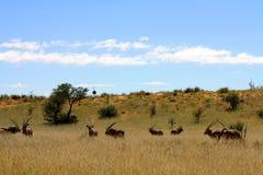 Gemsbok en Struisvogel in Zuidelijk Botswana Stock Fotografie