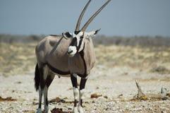 Gemsbok in Etosha #4 Royalty-vrije Stock Fotografie