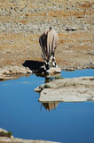 Gemsbok in Etosha Royalty-vrije Stock Afbeeldingen