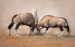 Gemsbok fight. Intense fight between two male Gemsbok on dusty plains of Etosha Stock Photos