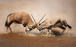 Gemsbok fight. Intense fight between two male Gemsbok on dusty plains of Etosha Royalty Free Stock Images