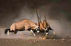 Gemsbok fight Royalty Free Stock Photo