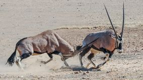 Gemsbok. Fight,  Kgalagadi, Playing, sharp horns, almost got you Stock Images