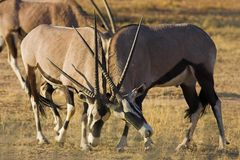 Gemsbok fighting Stock Photos