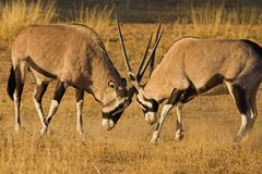 Gemsbok fighting. Kgalagadi Transfrontier Park, Southern Africa stock image