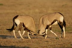 Gemsbok fighting, Kalahari desert. Two male gemsbok antelopes (Oryx gazella) fighting for territory, Kalahari desert, South Africa Royalty Free Stock Image