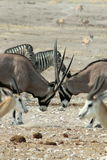 Gemsbok Fighting in Namibia Royalty Free Stock Image