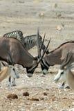 Gemsbok Fighting in Namibia Royalty Free Stock Image