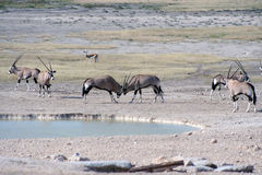 Gemsbok fighting at waterhole. Gemsbok (Oryx) fighting at waterhole, Etosha National Park, Namibia, Africa Stock Image