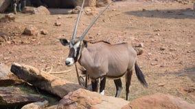 Gemsbok, gazela do ônix, Gemsbok dominante imagens de stock royalty free