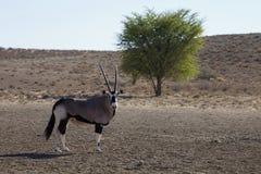 Gemsbok, gazela Oryx, εθνικό πάρκο Gemsbok, Νότια Αφρική Στοκ φωτογραφία με δικαίωμα ελεύθερης χρήσης