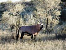 Gemsbok, Gazella de Orix Imagen de archivo libre de regalías