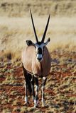 Gemsbok (gazella del Oryx) Fotografia Stock