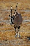 Gemsbok (gazella del Oryx) Fotografie Stock