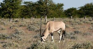 Gemsbok, gazella del Oryx en Etosha, África almacen de metraje de vídeo