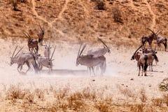 Gemsbok, gazella dell'orice sulla duna di sabbia Fotografia Stock Libera da Diritti