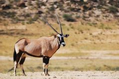 Gemsbok (gazella Oryx) Royalty-vrije Stock Foto
