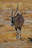 Gemsbok (gazella Oryx) Stock Foto's