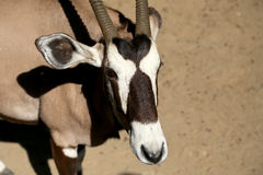 Gemsbok or gemsbuck (Oryx gazella) Stock Image
