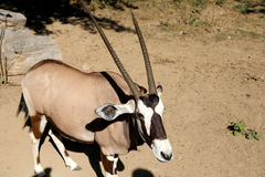 Gemsbok or gemsbuck (Oryx gazella) Royalty Free Stock Photos