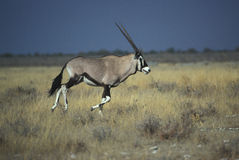 Gemsbok or Gemsbuck, Oryx gazella Royalty Free Stock Images