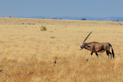 Gemsbok or gemsbuck oryx walking in Namib Desert Royalty Free Stock Images