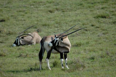 Gemsbok on grassland. Two African gemsbok on green grassland Stock Photography
