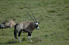 Gemsbok on grassland. Two African gemsbok antelope on grassland Stock Image