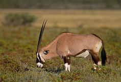 Gemsbok grazing on shrubs Royalty Free Stock Photo