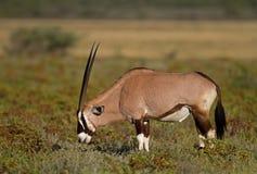Gemsbok grazing on shrubs. Oryx gazella royalty free stock photo
