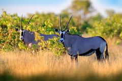 Gemsbok with green forest, evening sunset. Gemsbuck, Oryx gazella, large antelope in nature habitat, Nxai Pan, Botswana, Africa. Wild animals in the savannah stock photo