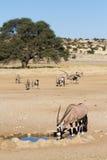 Gemsbok herd Royalty Free Stock Photo