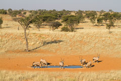 Gemsbok herd Royalty Free Stock Image