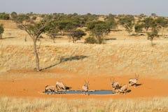 Free Gemsbok Herd Royalty Free Stock Image - 26536906