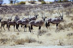 Gemsbok herd of antelope Stock Image