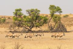 Gemsbok Herd. A herd of gemsbok in the dry Auob river bed in the Kgalagadi Transfrontier Park, situated in the Kalahari Desert, which straddles South Africa and Stock Photography