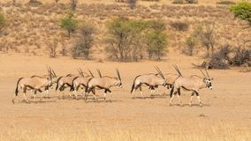 Gemsbok Herd. A herd of gemsbok in the dry Auob river bed in the Kgalagadi Transfrontier Park, situated in the Kalahari Desert, which straddles South Africa and Stock Photo