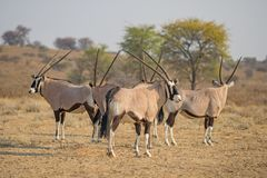 Gemsbok Herd. A hetd of gemsbok in the Kgalagadi Transfrontier Park, situated in the Kalahari Desert which straddles South Africa and Botswana Stock Photography