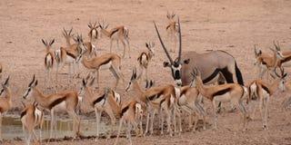 Gemsbok i antylopa dzielimy waterhole, Kgalagadi Transfrontier park narodowy, Południowa Afryka Obrazy Stock