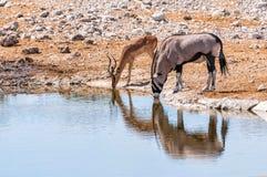 Gemsbok i antylopa przy wodnym basenem w Etosha parku, Namibia Zdjęcie Royalty Free