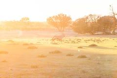 Gemsbok i den tidiga soluppgången Arkivfoton