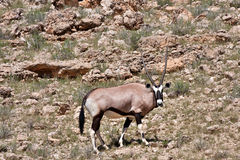 Gemsbok in Kalahari Stock Photography